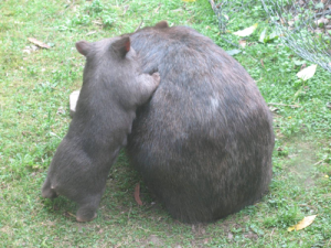 Baby Wombats